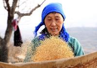河南林州迎新春再现传统舂米工艺