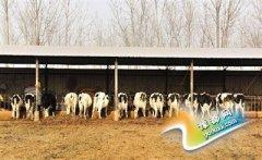 新乡奶农用牛奶浇地引关注 养殖场墙壁上贴限产通知