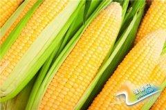 女性多吃玉米有助养颜抗衰老