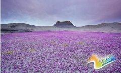 美国沙漠竟然变身成为花海天堂