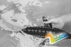 安徽安庆十年来首次发现野生中华鲟 体长69厘米