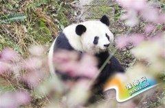 成都两只大熊猫各诞下一对雄性双胞胎