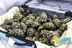 航空地勤员勾结同伙走私珍稀乌龟被抓获