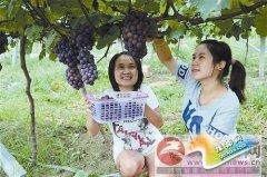 葡萄飘香季 生态采摘乐