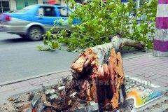 劳动路一棵法桐疑被车撞断 断枝被弃建设路