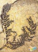 """专家发现世界""""第一朵花"""" 距今1.3亿年(图)"""