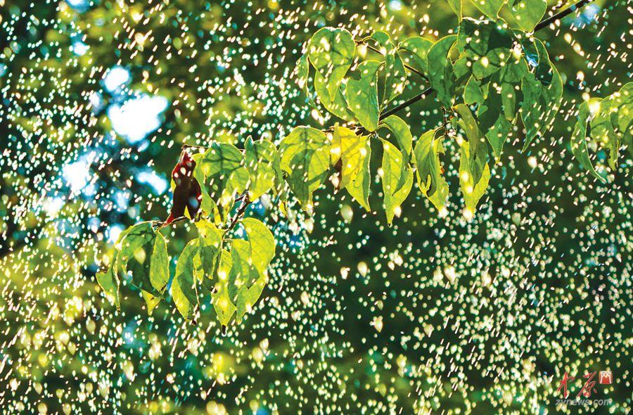 """郑东新区,阳光下接受""""淋浴""""的树叶晶莹透亮"""