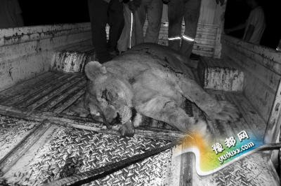 狮子惊现安徽高速服务区 特警20多枪击毙(图)