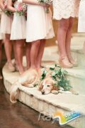"""婚礼创意:萌宠""""二哈""""戴鲜花穿礼服当花童"""