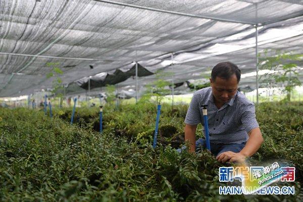 吴青海在铁皮石斛种植试验园。新华网海南频道记者 喻涛