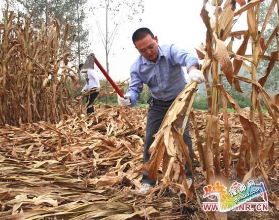 党员志愿者正在帮助群众收玉米