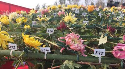 开封菊花展:世界上嫁接品种最多的大立菊 开出641个品种