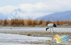 西藏:日喀则市加大黑颈鹤保护力度