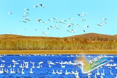 张家口湿地公园天鹅起舞