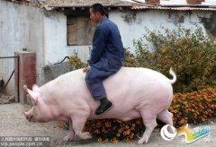 """河北:母猪重达1200斤 主人特颁""""免死令""""(图)"""