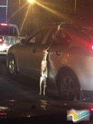车主将狗挂在车窗外:怕弄脏车