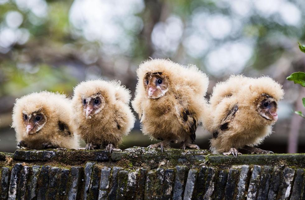 日前,九江市都昌县蔡岭镇的曹女士上山采茶籽时,捡到5只可爱的雏鸟。经野保工作人员鉴定,这5只雏鸟为国家二级野生保护动物猴面鹰,目前已被送往鸟类保护组织进行救护。