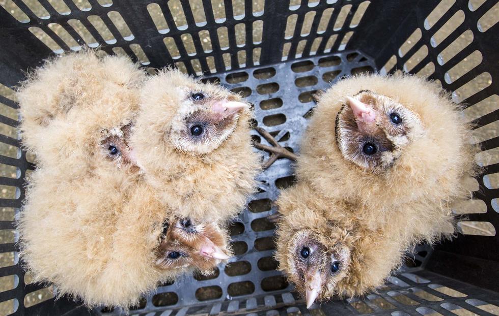 """目前,这5只猴面鹰已被送到都昌县西源乡的""""小天鹅""""保护协会进行救护,预计1个月后就可放飞大自然。"""