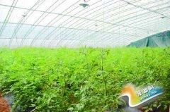孟电生态园的温室西红柿苗长势喜人 - 今日辉县 - 辉县新闻网