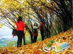 义马市生态公园――落叶一地金黄