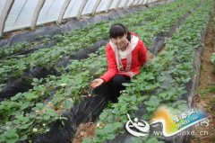 """函谷关镇:大棚温室草莓喜上""""莓""""梢,迎来成熟季"""