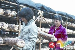 政府当红娘   村民种花菇