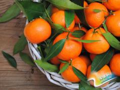 成都周边看银杏摘果子,走起!