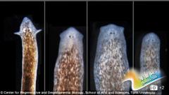 匪夷所思!这个萌物有不死之身 能长出其它动物的头(图)
