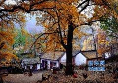 """河南小山村""""暗藏""""古银杏林 每到深秋遍地金色"""