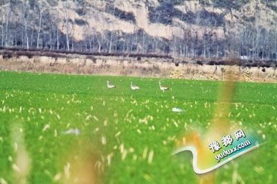三门峡发现22只大鸨 属国家一级保护鸟类