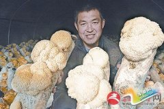 猴头菇喜获丰收