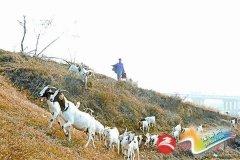 河堤上牧羊增加收入