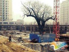 高新区一学校工地保护古槐 规划大楼重新设计挪了5米