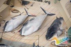 日拟于2015年内重启南极科研捕鲸 欲捕300余只