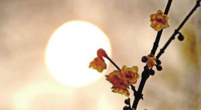 绿荫公园腊梅文化展开幕 像梅长苏般静静赏梅吧