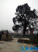 郏县千年古树有奇景 一半是松树一半是柏树