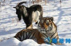 羊入虎口的另类版本:动物园老虎与羊成好朋友