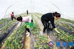 新爱家温室大棚里奶油草莓吸引市民采摘