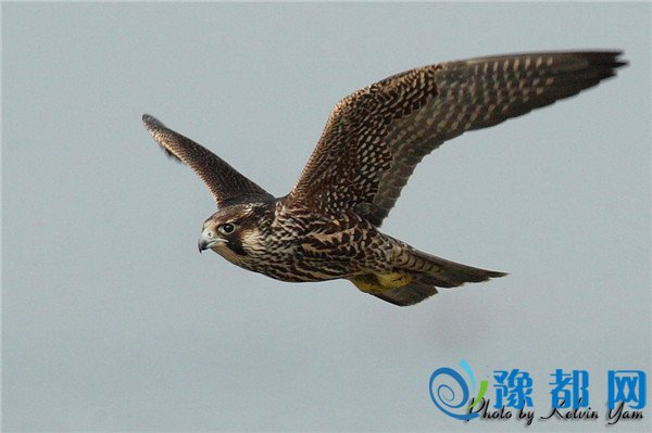 国家二级重点保护动物游隼淅川获救