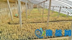 濮阳2.7万株茄苗被人喷农药后枯死 菜农心寒