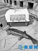 娃娃鱼现身郑州污水处理厂 救助中心已带回