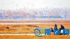 驻马店宿鸭湖飞来3万多只大雁 300多只白天鹅