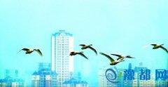 鸿鹄之志领风骚                      ――三门峡天鹅湖国家城市湿地公园掠影之四
