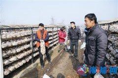 小香菇带来大财富 小乡村打造大产业
