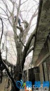 郑州老太爬树摘嫩芽 被困15米高树干1个多小时