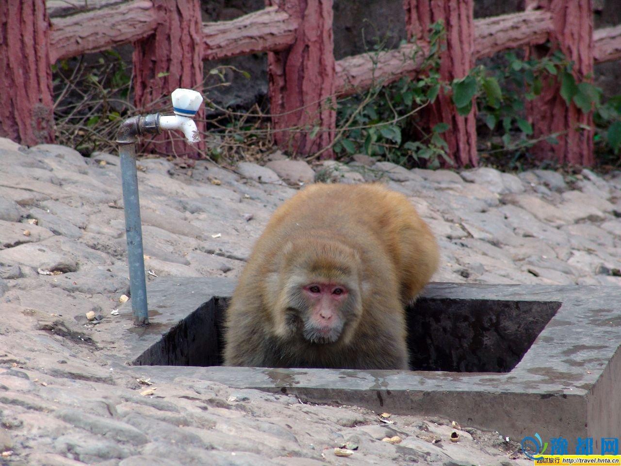 """五龙口景区内有猕猴群落分布,为五龙口提了难得的自然动物资源,是最具特色的动物景观。 五龙口猕猴,现称之为""""太行猕猴"""",在进化系统上属灵长目猿科,为国家二级保护动物。五龙口景区现有猕猴九大群,约3000只左右。此外景区内还有山鹰、绵鸡、野山羊、野兔及各种山雀、鸟类等其他动物景观,景区内还盛产中药材全虫(即蝎子)。 植物景观主要是由刺槐、栋树、香椿、侧柏、黄荆、黄栌、连翘、山葡萄等构成的原始次生林。 人物景观 古"""
