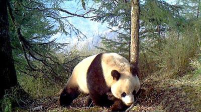 红外相机记录到野生大熊猫罕见雪景照