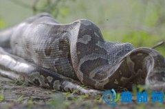 现实版农夫与蛇:男子养巨蟒为宠物反遭咬伤(图)