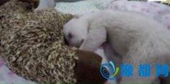 5周北极熊宝宝睡觉时打鼾 微微睁眼萌萌哒(图)