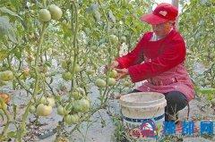 宋庄社区大棚蔬菜种植基地番茄已挂果上市